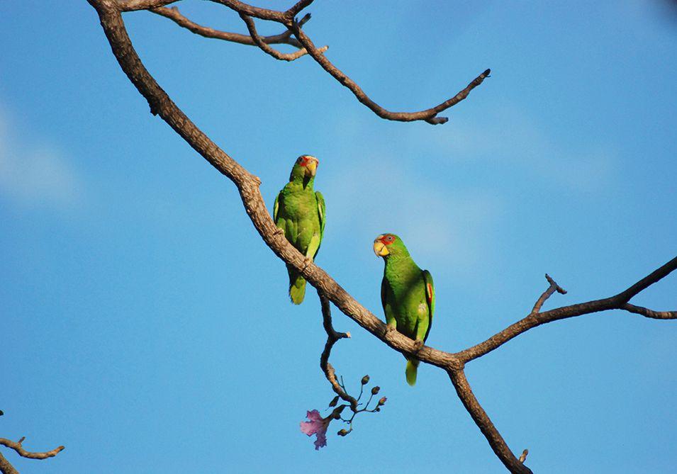 papagei nosara costa rica